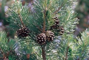 800px-Pinus_sylvestris_branch