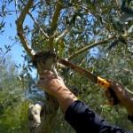 potare-gli-ulivi